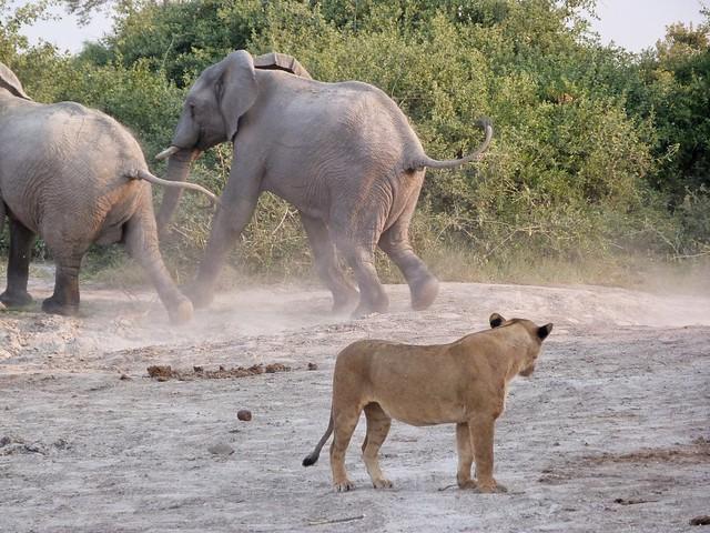 Elefantes y leona en Savuti (Botswana)