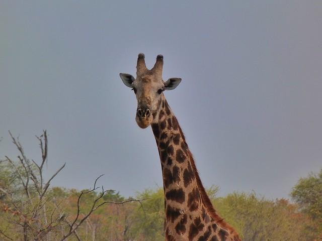 Jirafa en Botswana