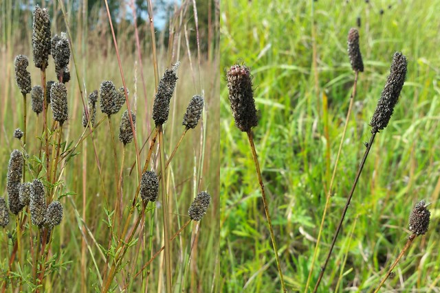 prairie clover stems - purple on the left, white on the right