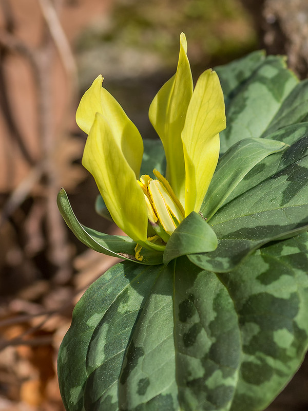 Trillium with 4 petals, sepals, and leaves