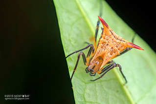 Thorn orb weaver (Micrathena gr. triangularispinosa) - DSC_0888