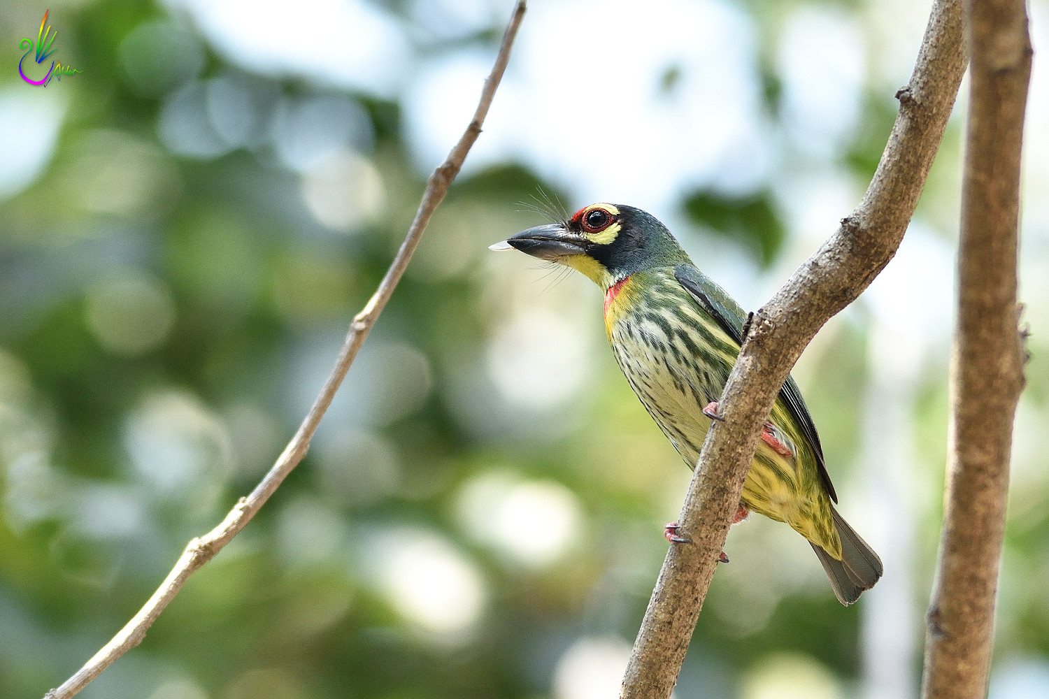 Coppersmith_Barbet_6764