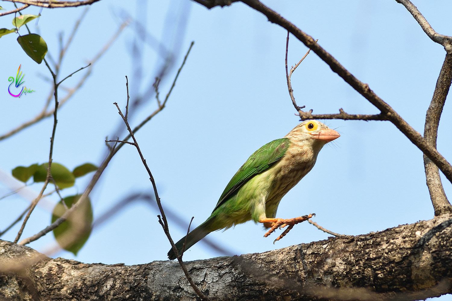 Lineated_Barbet_5872