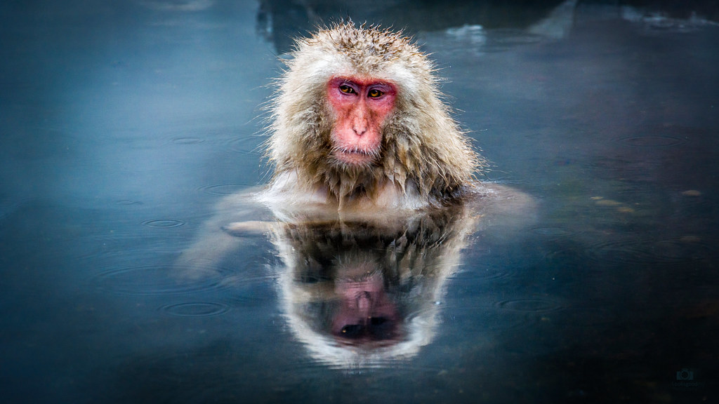 Snow Monkey In Hot Spring 4k Wallpaper Desktop Backgroun Flickr