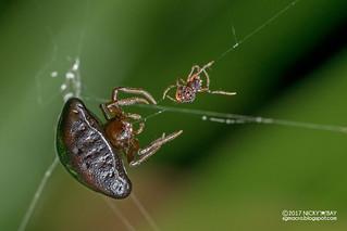 Orb weaver spider (Cyrtarachne sp.) - DSC_9128