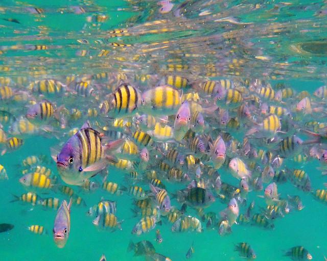 Peces sargento en grupo bajo las aguas del mar de Andamán