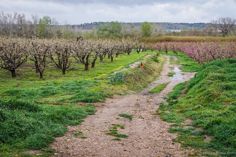 Entre campos de melocotoneros y de cerezos