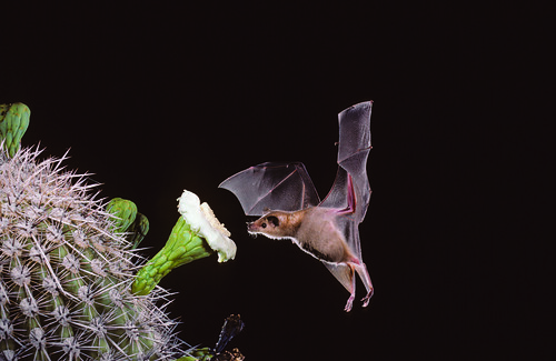 Lesser long-nosed bat pollinating a saguaro cactus in the desert Southwest