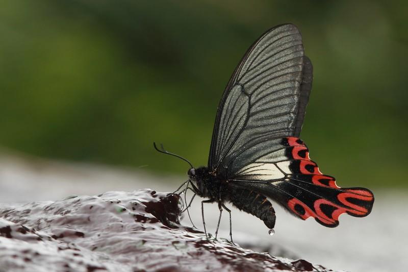 台灣寬尾鳳蝶的成蟲。攝影:呂晟智;林務局提供。