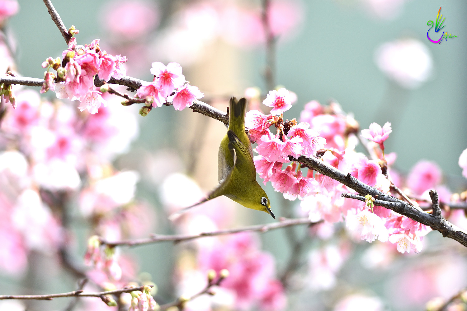 Sakura_White-eye_8950