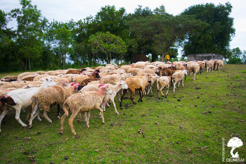 Herding sheeps at PMP Farm