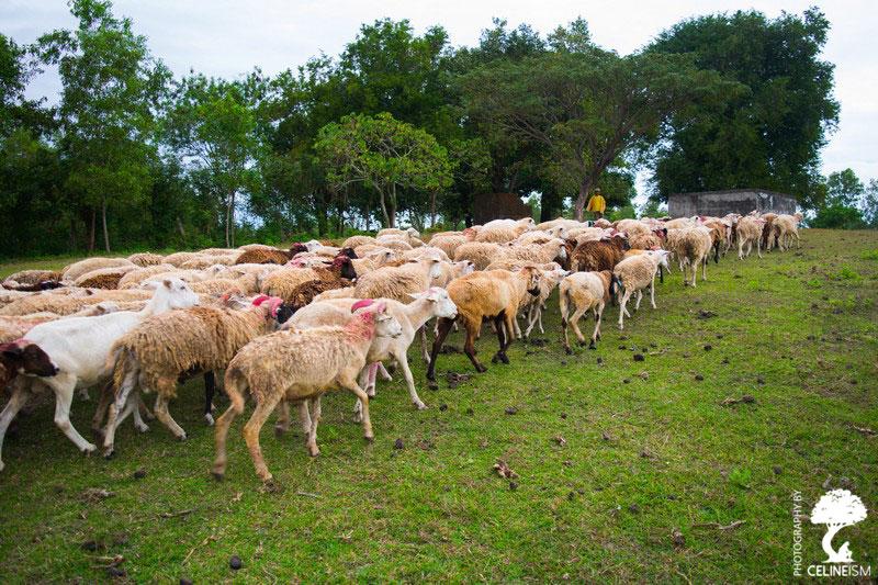 Herding sheeps at PMP Farm