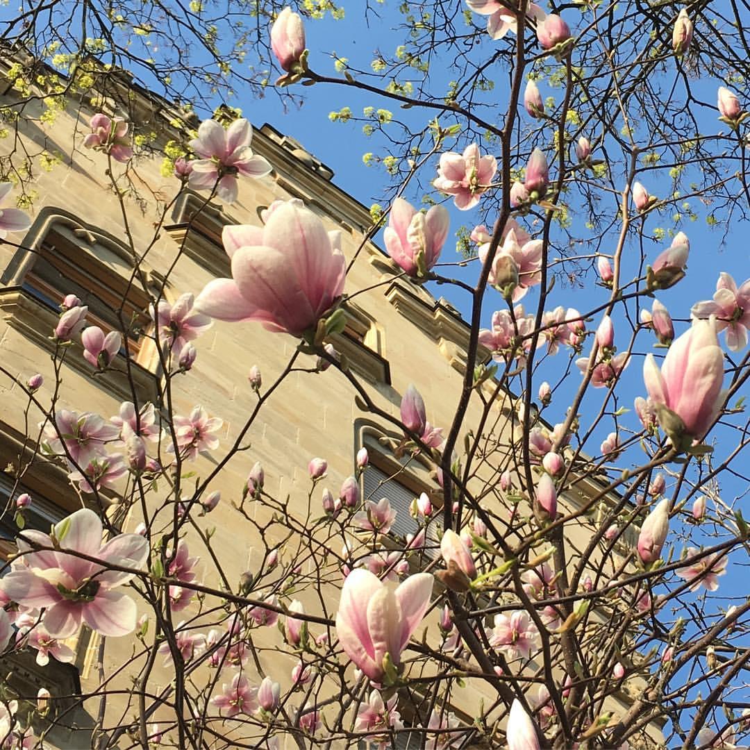 Magnolia // Везет же кому-то - магнолии прямо в окна лезут