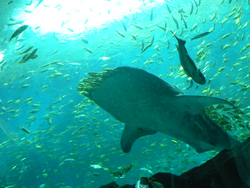 Whale shark whale sharks eat plankton the fish swim for The fish that ate the whale
