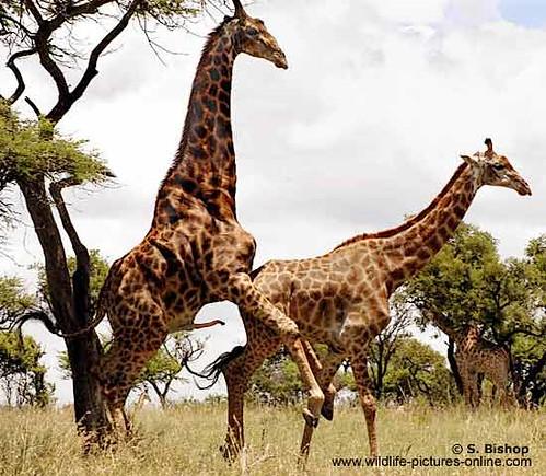 Giraffe Pair Mating   Giraffe pair (Giraffa camelopardalis ...  Giraffe Pair Ma...