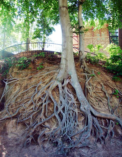 Exposed gnarly roots in Fall River Park | by Martin LaBar