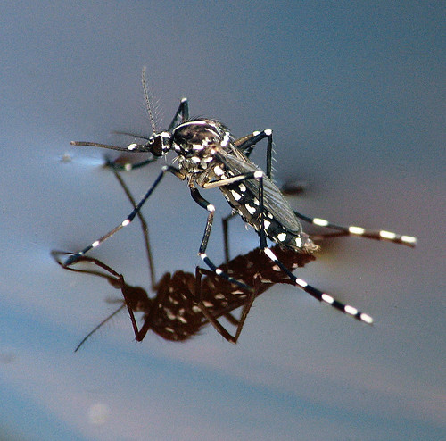 Asian Tiger Mosquito | by Sean McCann (ibycter.com)