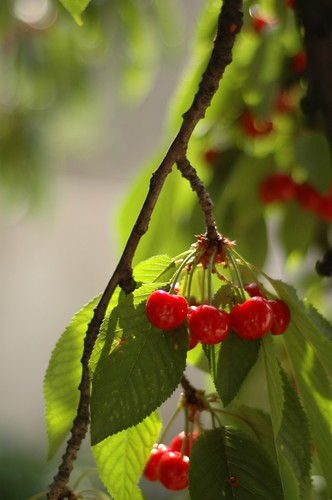 Cherries | by jimmac
