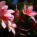 Pink Plumerias