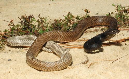 Snakes At Florida Beach