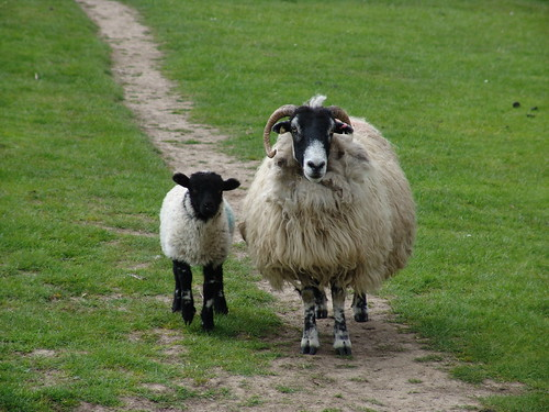 Sheep on the Moors | by Jason Gillyon
