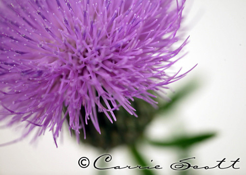 PhotoFri - PURPLE | by Carrie Queen of Scots