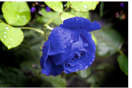 One Bright Blue Rose | by Paddy Furlong