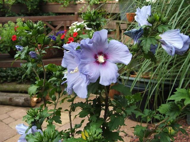 Purple Hibiscus Backyard Snob :  World Map App Garden Camera Finder The Weekly Flickr FlickrBlog