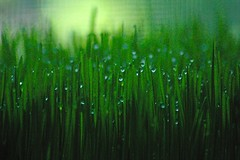 wheat grass with dew | by lynne bernay-roman