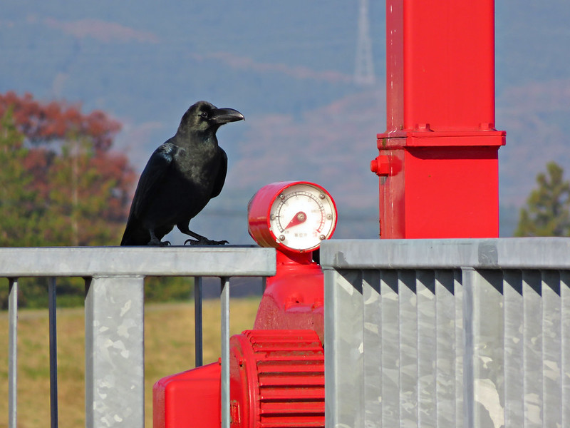Jungle crow and manometer