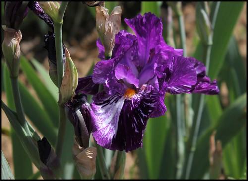 Iris broken color 21159368076_6d621f50c3