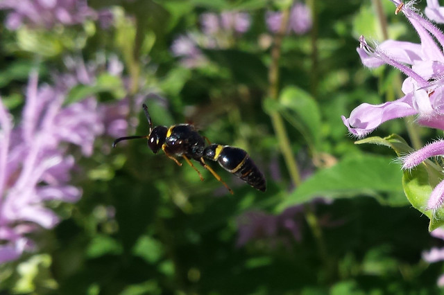 mostly black insect with a couple yellow stripes flying between bee balm blossoms