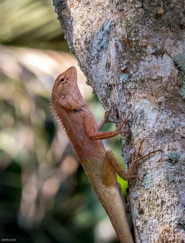 Common garden lizard Thailand, Male in heat