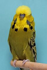 Landessieger Bester Altvogel 1.0 Opalin graugrün R. Jenne ( 17567 )