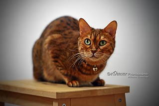 """Pet Portrait: Mila, Bengal Cat"" 