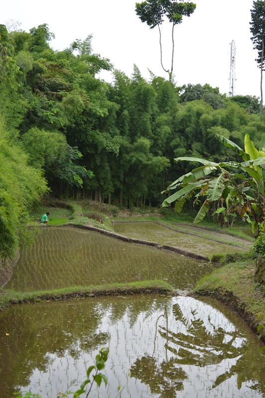 12. Uma Rice Fields