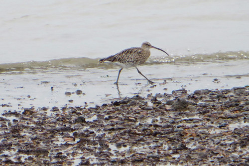 Curlew | by diamond geezer