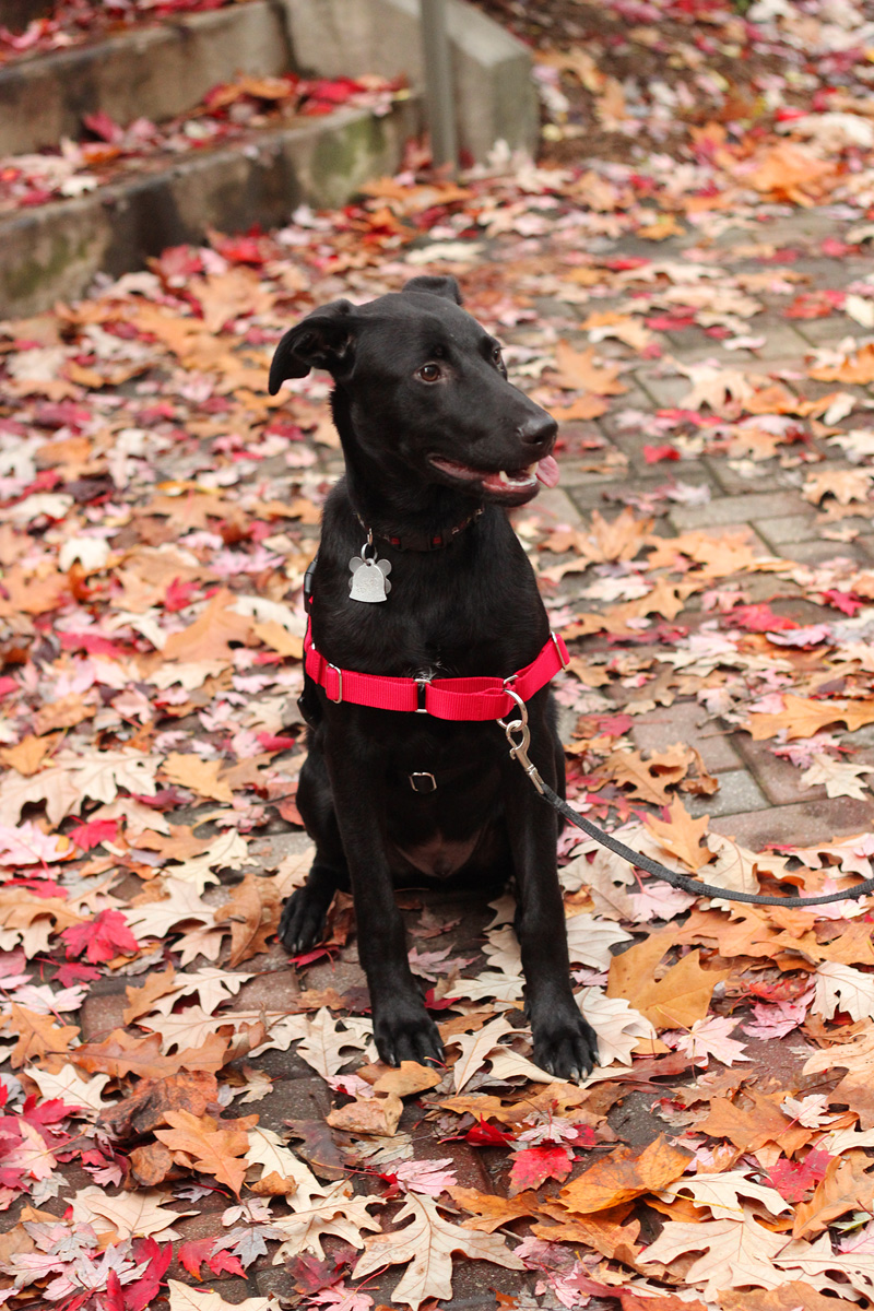 Riker the Puppy: Black Lab and Possible Greyhound Mix in the Fall Leaves