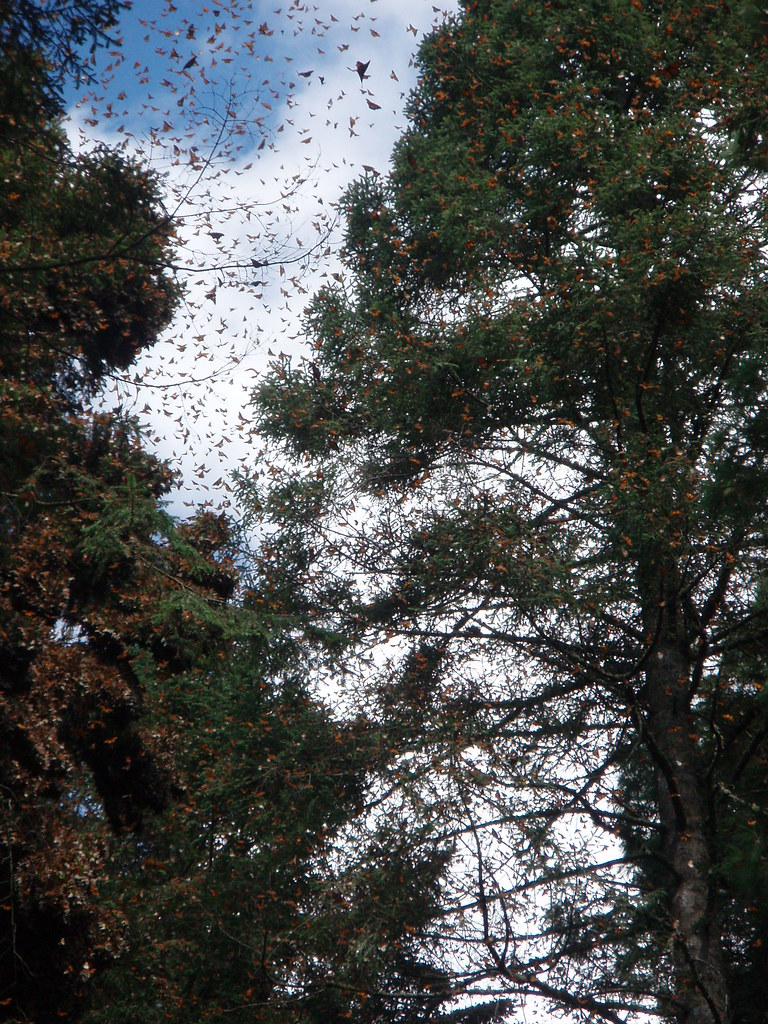 Monarkkiperhosia