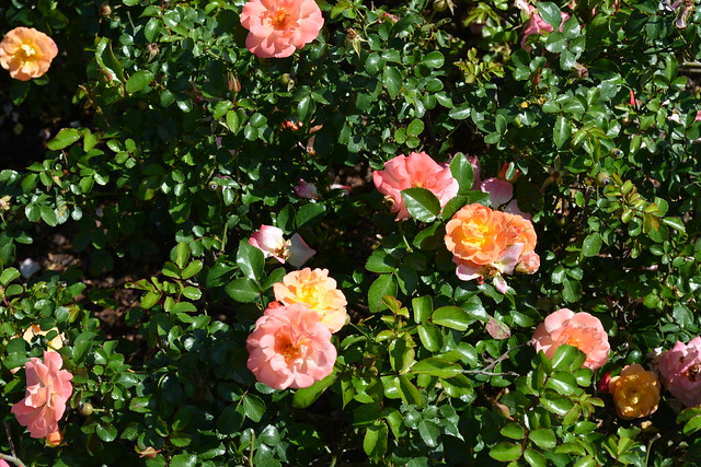 Epcot Roses