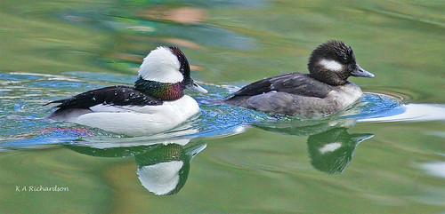 Bufflehead pair | by keithricflick