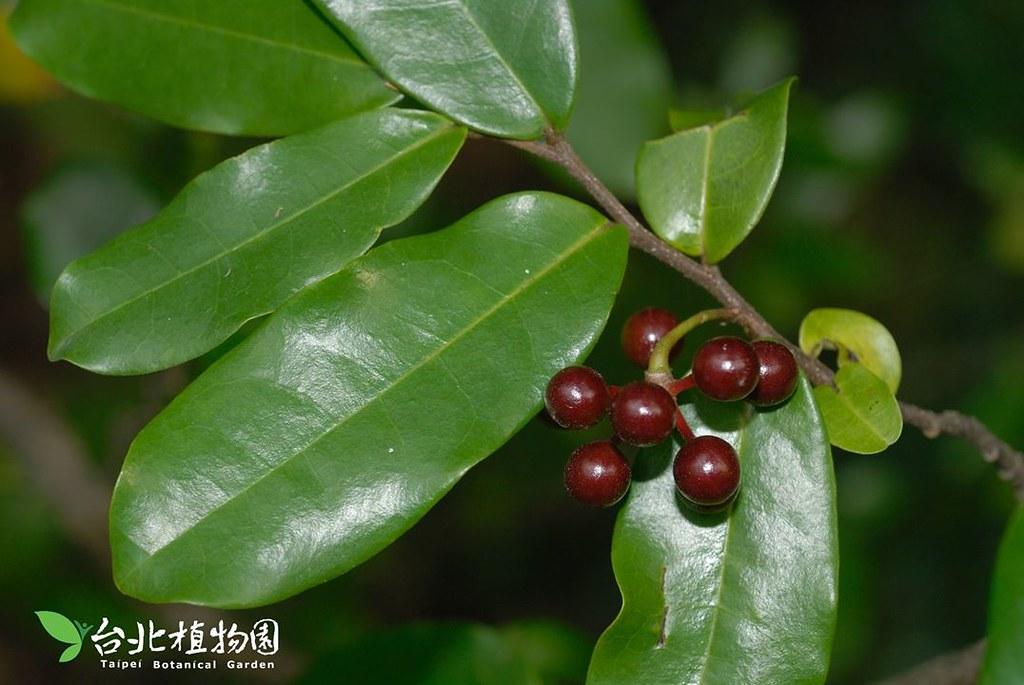 雞爪樹。圖片來源:台北植物園。