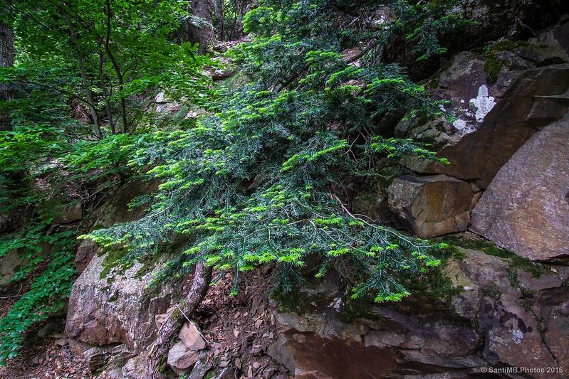 Abeto creciendo en una roca