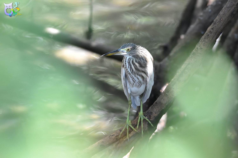 Javan_Pond_Heron_2046