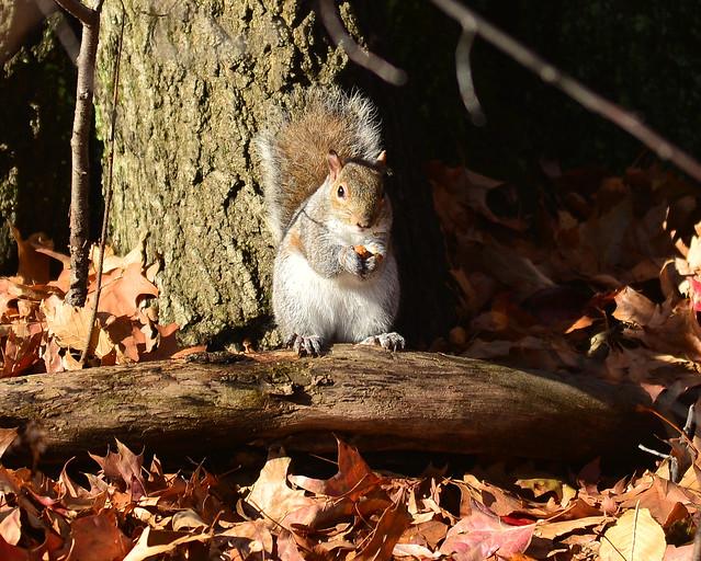 Ardilla de Central Park muy feliz después de saber dónde comer en Nueva York
