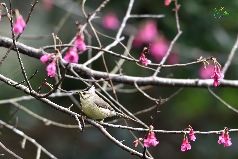 Taiwan_Yuhina_1557