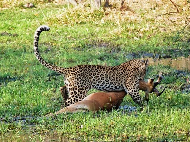 Leopardo arrastrando impala en Moremi (Botswana)