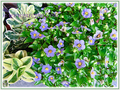 Gorgeous flower bunches of Exacum affine (Persian Violet, Exacum Persian Violet), captured 1 June 2013