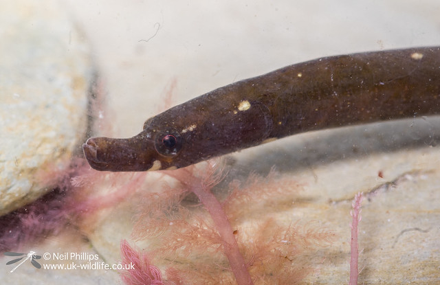 43 worm pipefish