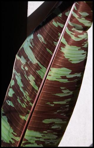 *musa* - Musa acuminata var. sumatrana - bananier de Sumatra 32585327390_3de260f6f1